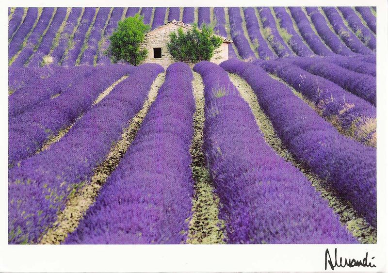 PicForNewsletterClubMedOpioJune2007LavenderPostcard