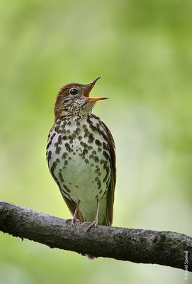 Wood-thrush-singing--779601