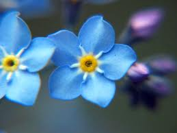 Forget me not, flower, uchtdorf, lds.org