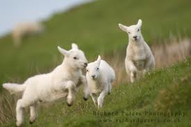 Lambs, richard peters photography, uk, playful